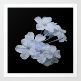 Pale Blue Plumbago Isolated on Black Background Art Print