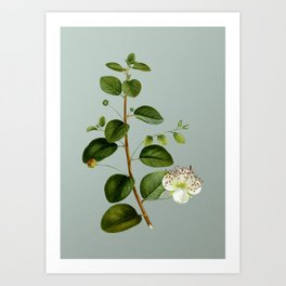 Vintage Caper Plant Botanical Illustration on Mint Green Art Print