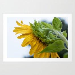 Sunflower in Repose Art Print