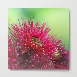 Red Gum Blossom Metal Print