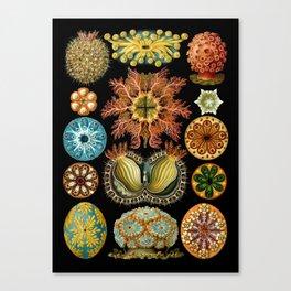 Ernst Haeckel - Scientific Illustration - Ascidiae Canvas Print