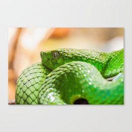 Coiled green snake Canvas Print