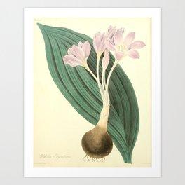 Roscoe, Margaret (1786-1840) - Floral Illustrations of the Seasons 1831 - Colchicum Byzantinum Art Print