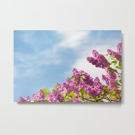 Lilac pink inflorescences grow in garden Metal Print