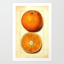 Vintage Botanical Navel Orange Art Print