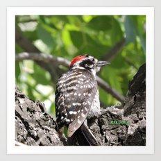 A Nuttal's Woodpecker Up a Tree Art Print