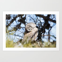 Barred Owl II Art Print