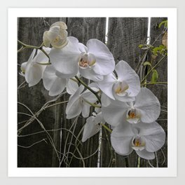 White Moth Orchid Art Print