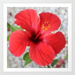 A Stunning Scarlet Hibiscus Tropical Flower Art Print