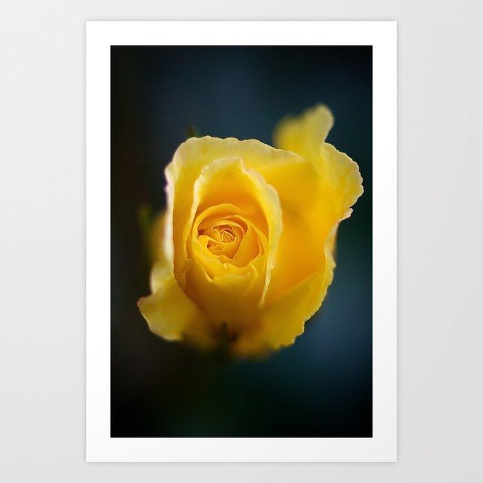 Pretty Yellow Rose Flower Against Dark Blue Background Close Up