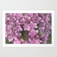 Double Bloom Hydrangea Art Print
