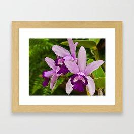 Cattleya Orchid Framed Art Print