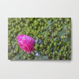 Rose Garden Five Metal Print