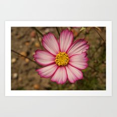 Flower with Red-Rimmed White Petals and Yellow Centre Art Print