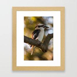 Laughing Kookaburra (Dacelo novaeguineae) Framed Art Print