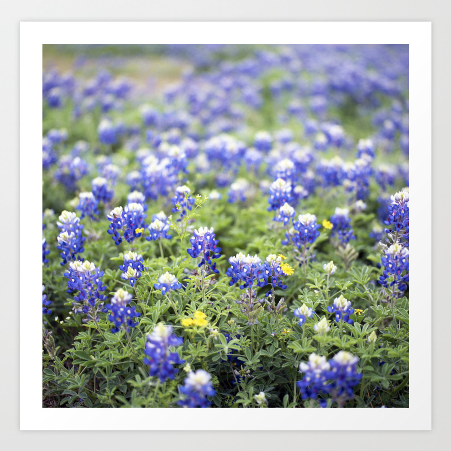 Texas State Flower Art Print By Williamdenson Society6