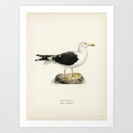 Lesser blak-backed gull (Larus fuscus) illustrated by the von Wright brothers. Art Print