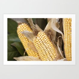 cobs and corn in the farm Art Print