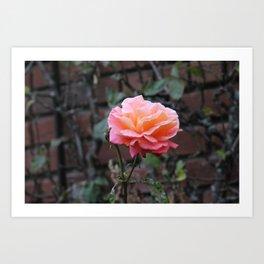 Pink & Peach Blooming Rose Art Print