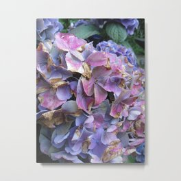 Hydrangea blue and lilac Metal Print