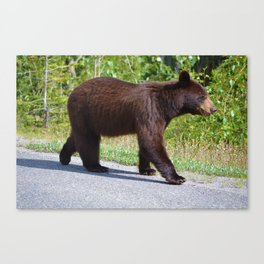 The happiest bear in Jasper National Park Canvas Print