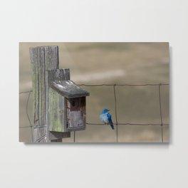 Fluffy Mountain Bluebird Metal Print