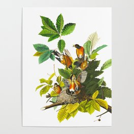 American Robin John James Audubon Vintage Scientific Illustration American Birds Poster