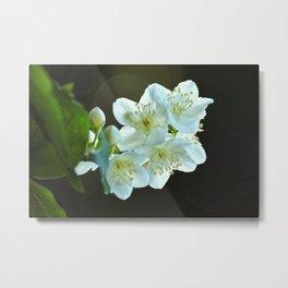 Jasmine flower Metal Print