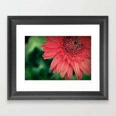 Gerber Daisy. Framed Art Print