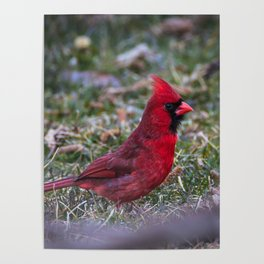 Male Red Cardinal Ohio Poster