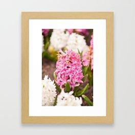 Hyacinthus flowering cluster pink Framed Art Print
