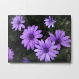 African daisy madness Metal Print