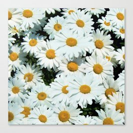 Daisies explode into flower Canvas Print