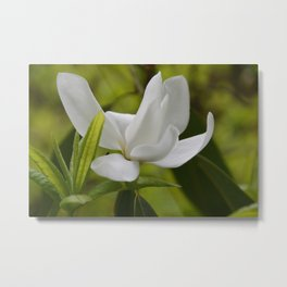 White Magnolia Blossom in the Spring Metal Print