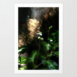 White Flower- Begonia Thelmae Art Print