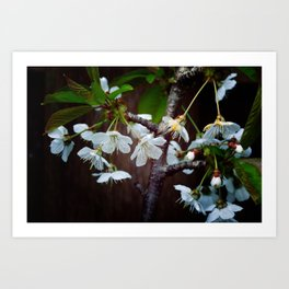 The beauty of Cherry flowers Art Print