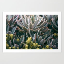 Graptoveria Study #3 Art Print