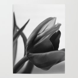 Tulip Blooming In Black And White Poster