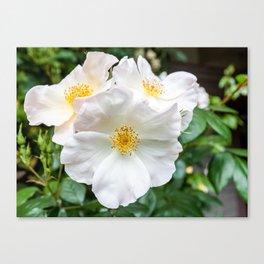 Camellia Bloom Flower Canvas Print