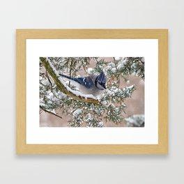 Snow Jay Framed Art Print