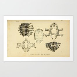 General Herpetology / Natural History of Reptiles (1834-1854) - Turtle Carapace and Bones Art Print