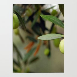 Olives On A Branch Poster