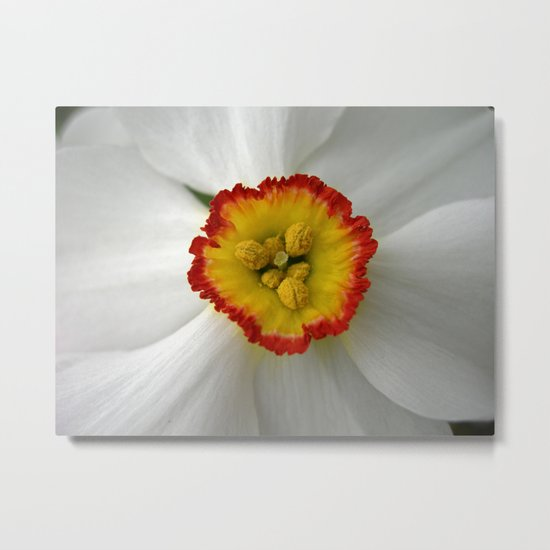 narcissus bloom macro VII Metal Print