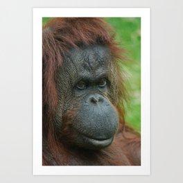 Female Orangutan Art Print