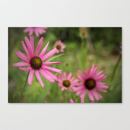 Tennessee Coneflower Canvas Print