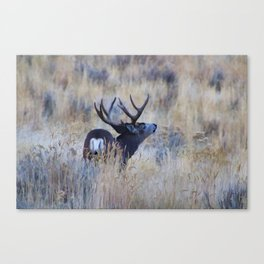 Black Tail Buck Canvas Print