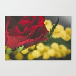 Roses and mimosas Canvas Print