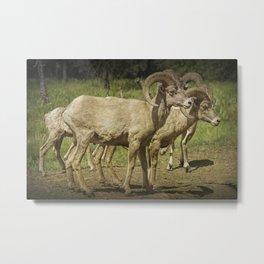 Bighorn Sheep along a Roadside in the Black Hills Metal Print