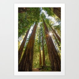 Majestic California Redwoods Art Print