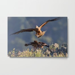 Black Kite vs young Egyptian Vulture Metal Print